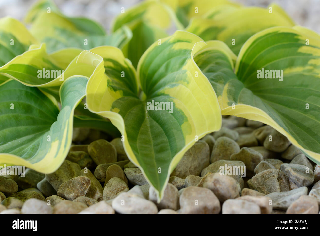 Hosta  'Wide Brim'  Plantain lily  Growing in gravel  June - Stock Image