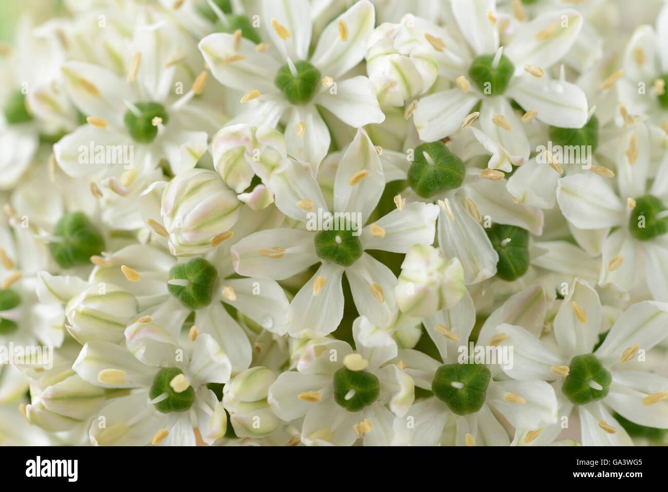 Garden summer june allium nigrum white bulb flower stock photos allium nigrum black garlic syn allium multibulbosum june stock image mightylinksfo