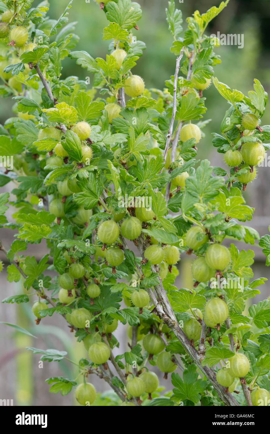 Ribes uva crispa. Gooseberry Invicta. Gooseberries on the bush - Stock Image
