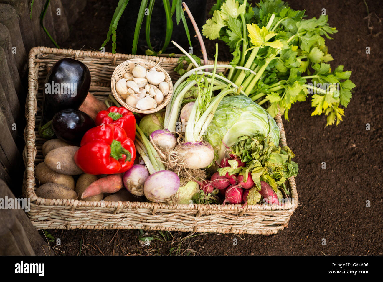 High angle view of vegetables in wicker crate at garden - Stock Image