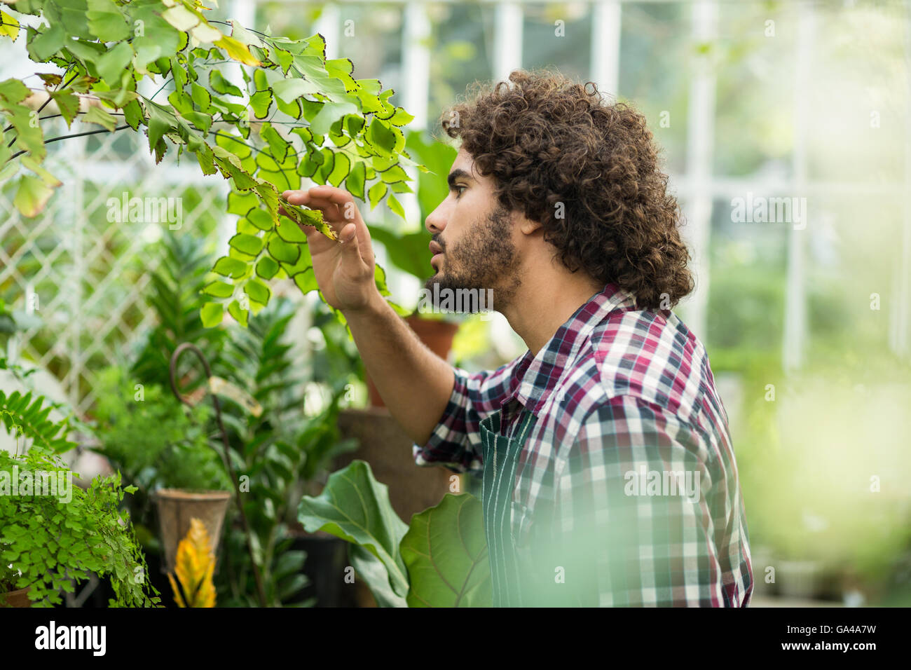 Male gardener inspecting plants at greenhouse - Stock Image