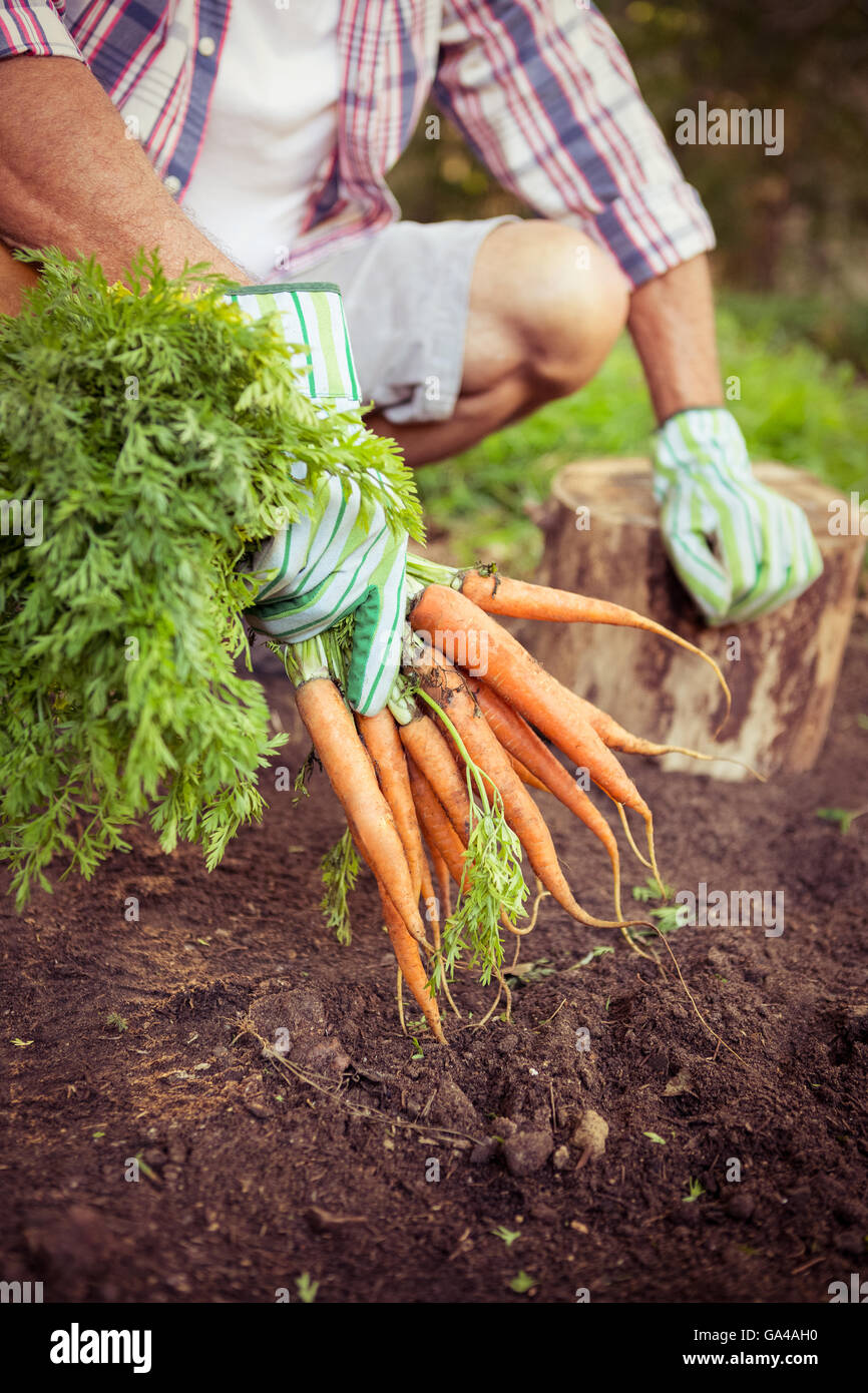 Gardener crouching with carrots at farm - Stock Image