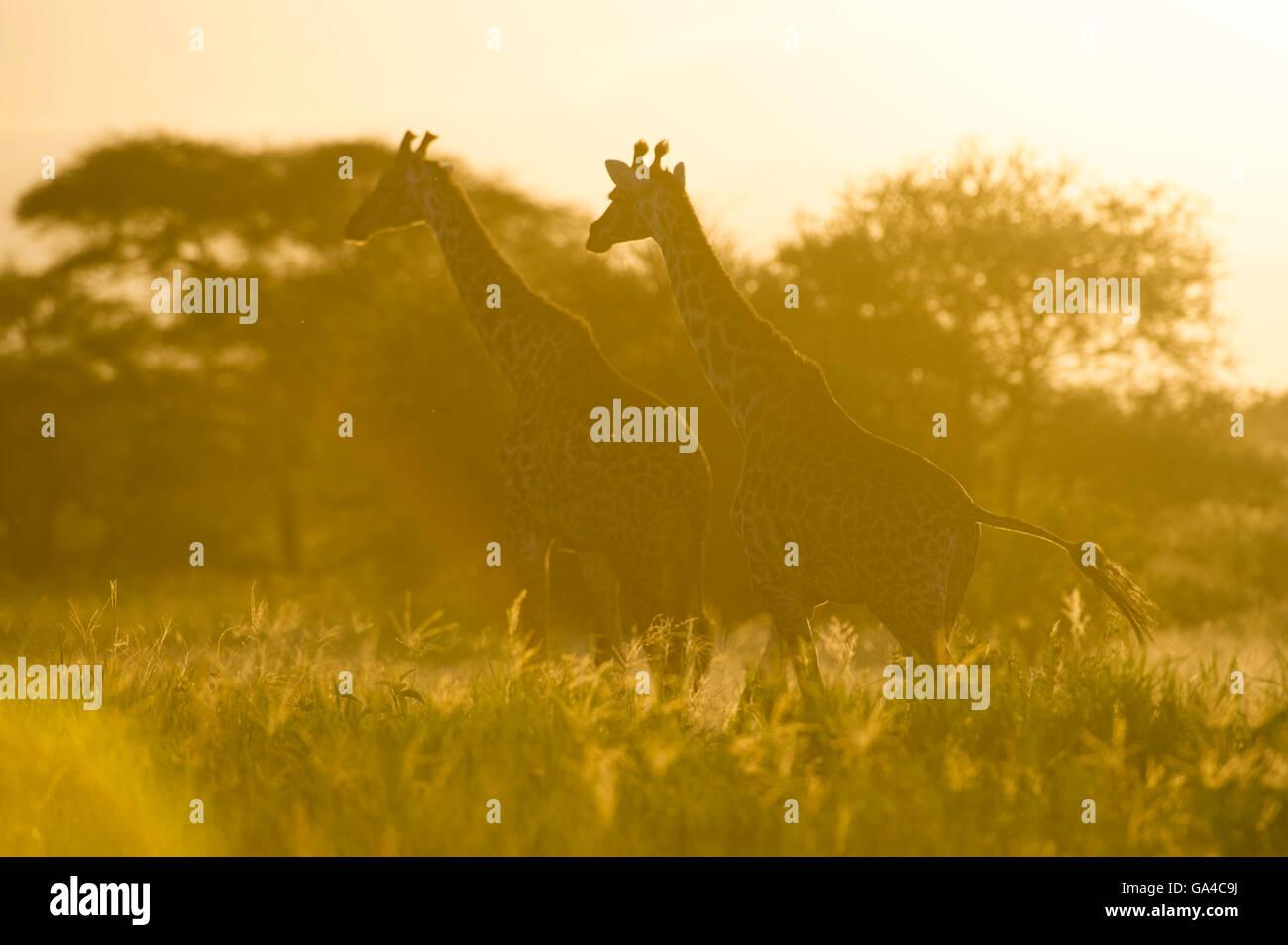 Maasai giraffe at sunset (Giraffa camelopardalis tippelskirchi), Tarangire National Park, Tanzania - Stock Image