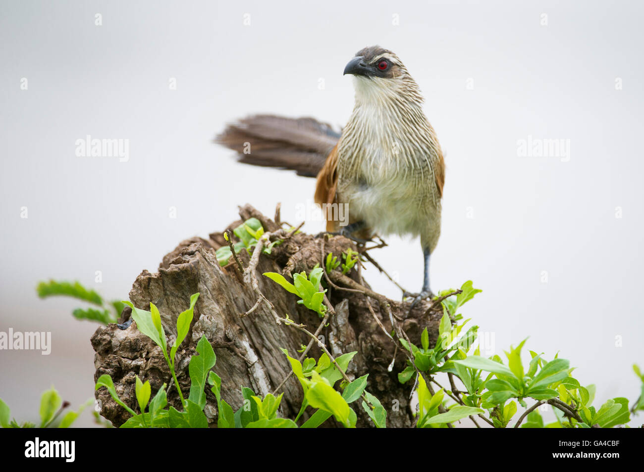 White-browed coucal (Centropus superciliosus), Tarangire National Park, Tanzania - Stock Image