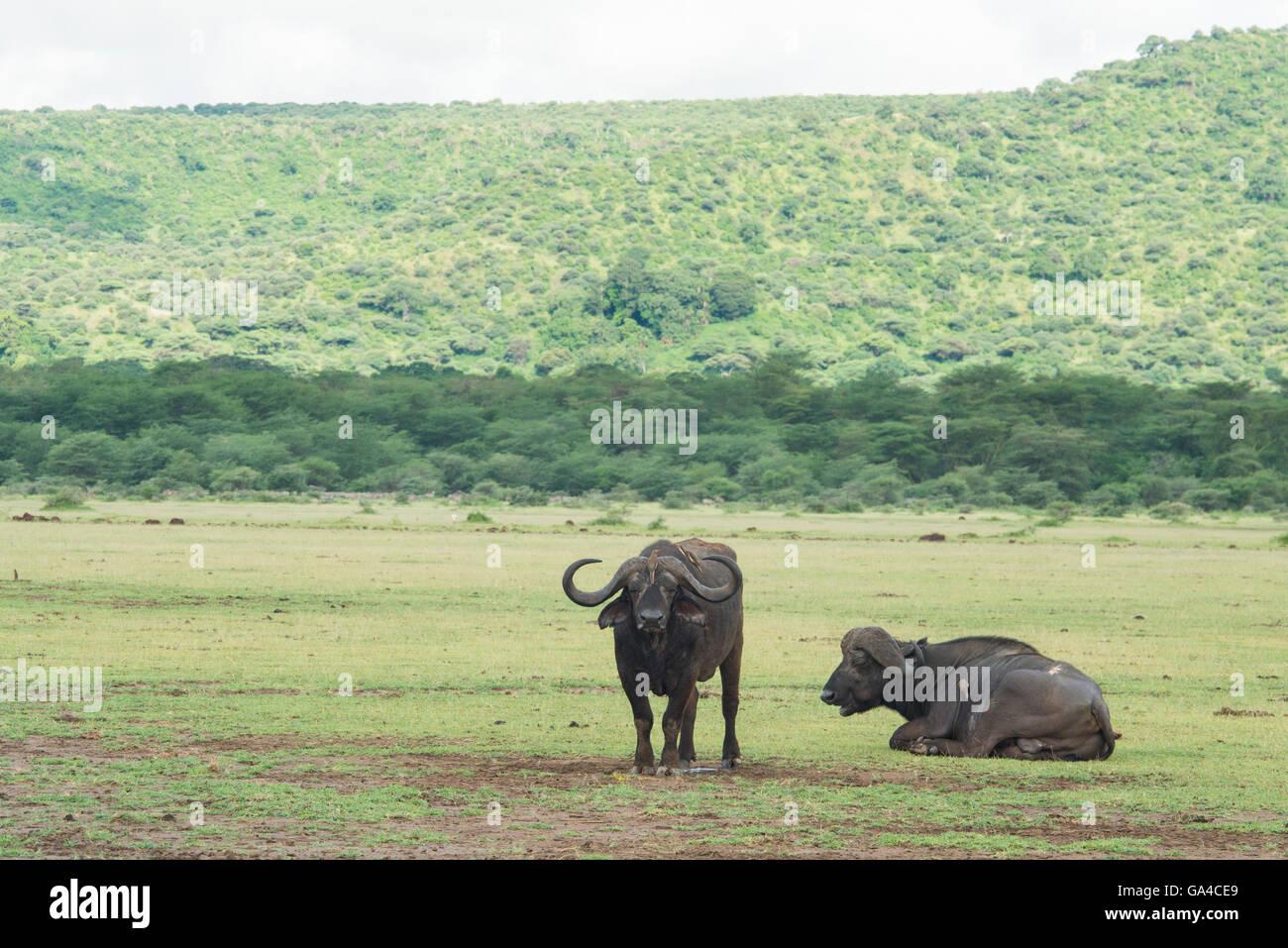 Buffalos (Syncerus caffer caffer), Lake Manyara National Park, Tanzania - Stock Image