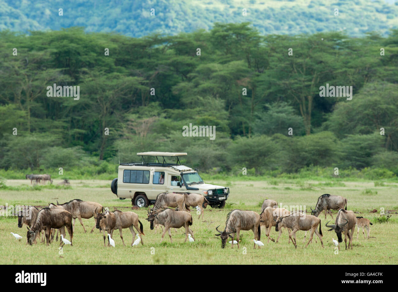 Tourists in safari vehicle watching Blue wildebeest (Connochaetes taurinus), Lake Manyara National Park, Tanzania - Stock Image