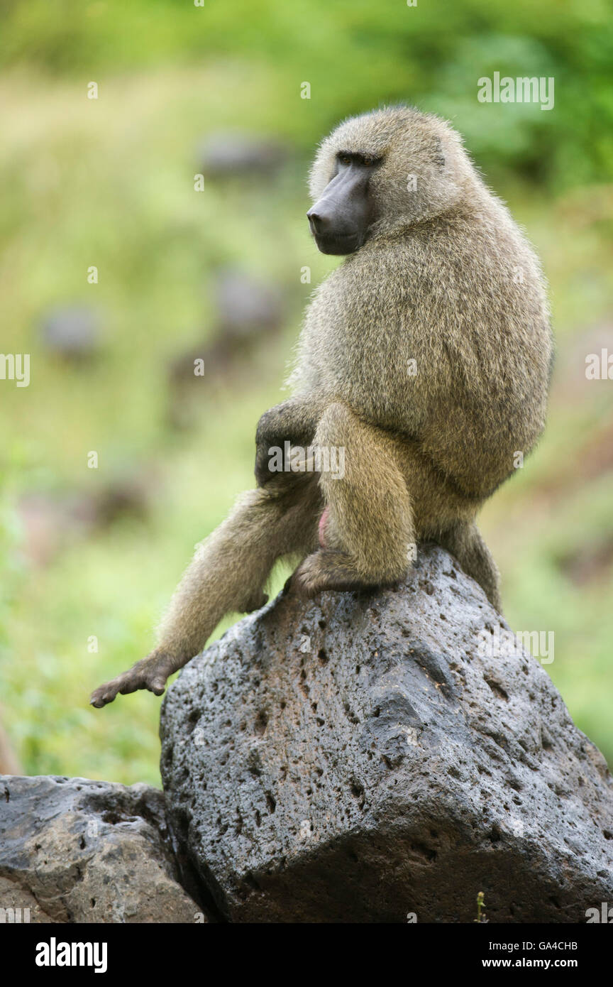 Olive baboon ( Papio cynocephalus anubis), Lake Manyara National Park, Tanzania - Stock Image