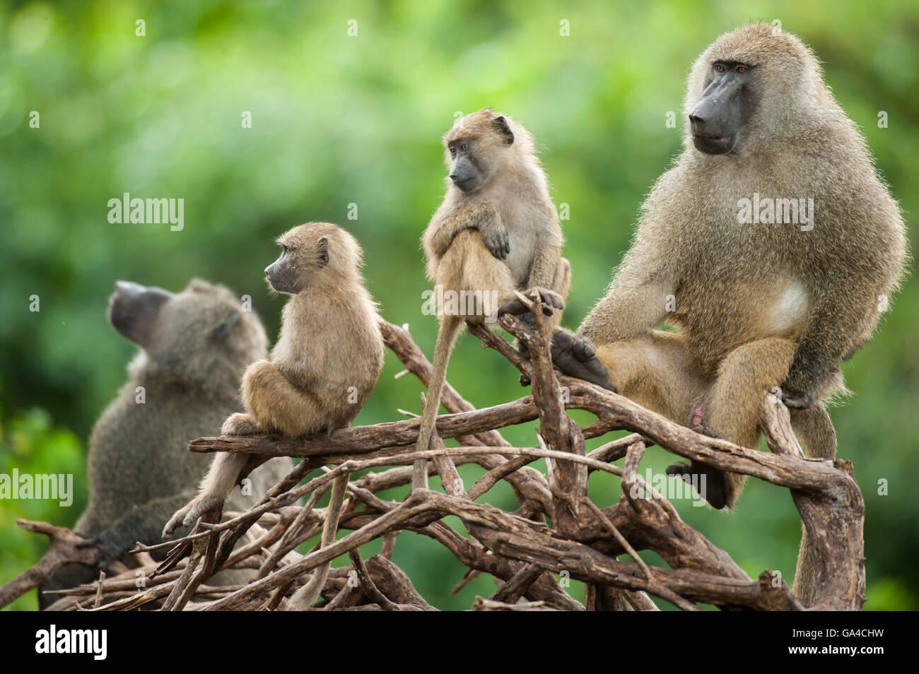 Olive baboons ( Papio cynocephalus anubis), Lake Manyara National Park, Tanzania - Stock Image