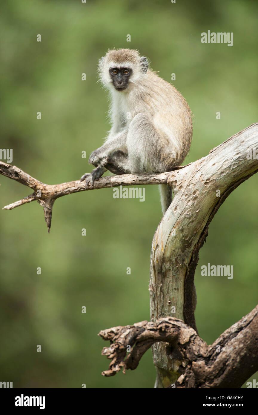 Vervet monkey (Cercopithecus aethiops), Lake Manyara National Park, Tanzania - Stock Image