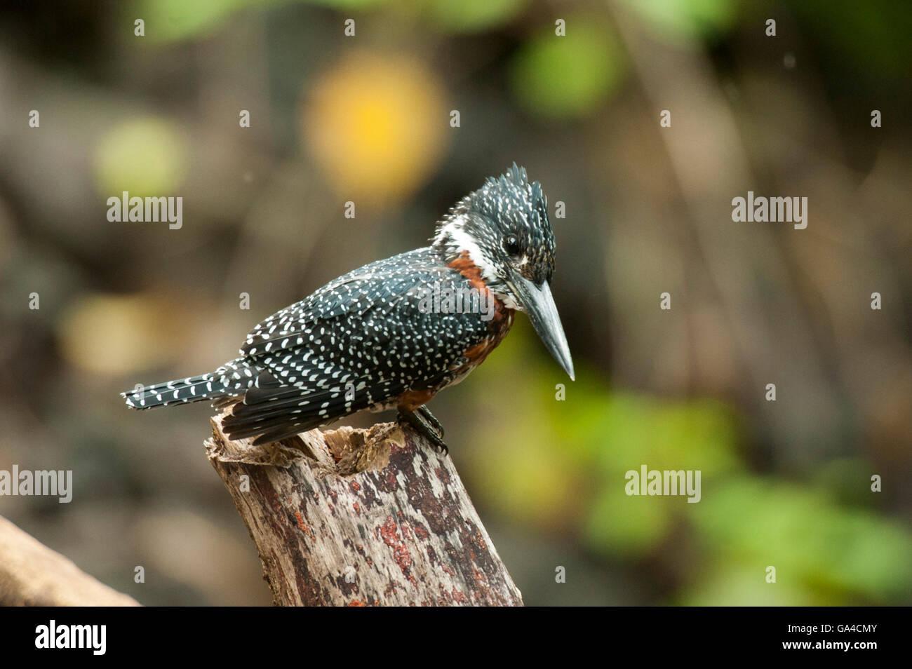 Giant Kingfisher (Megaceryle maxima), Lake Manyara National Park, Tanzania - Stock Image