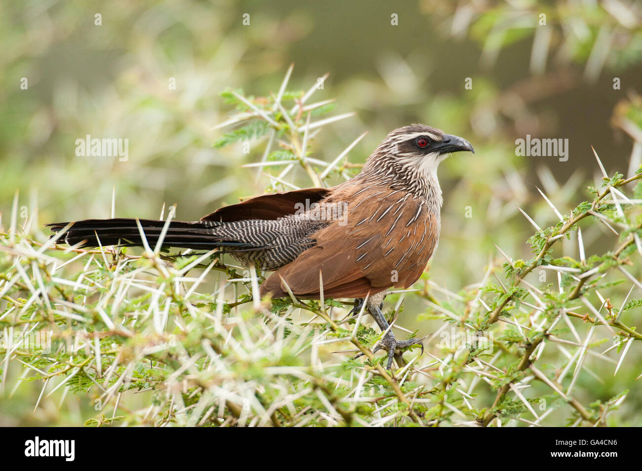 White-browed Coucal (Centropus superciliosus), Lake Manyara National Park, Tanzania - Stock Image