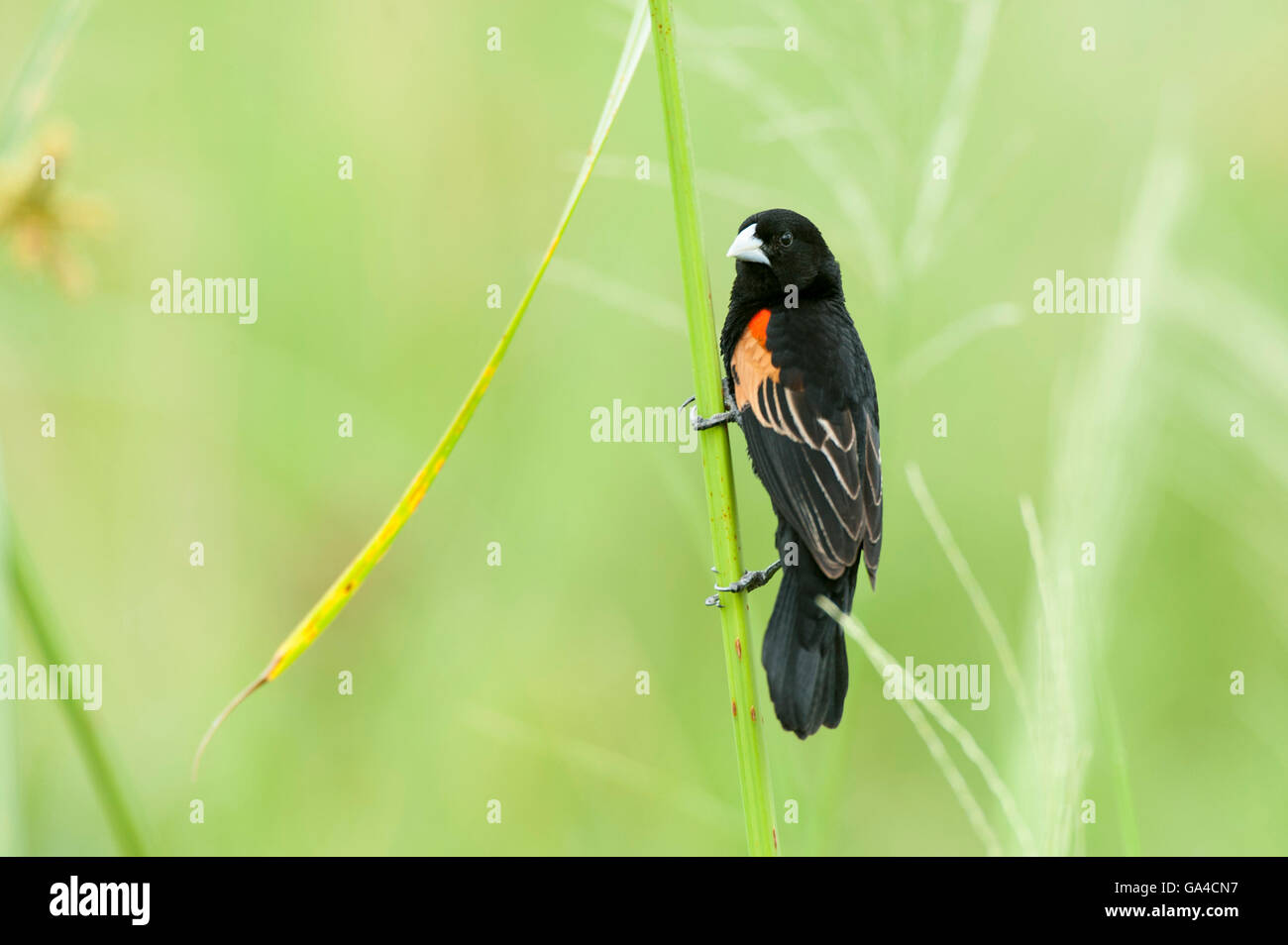Fan-tailed widowbird, Euplectes axillaris, Lake Manyara National Park, Tanzania - Stock Image