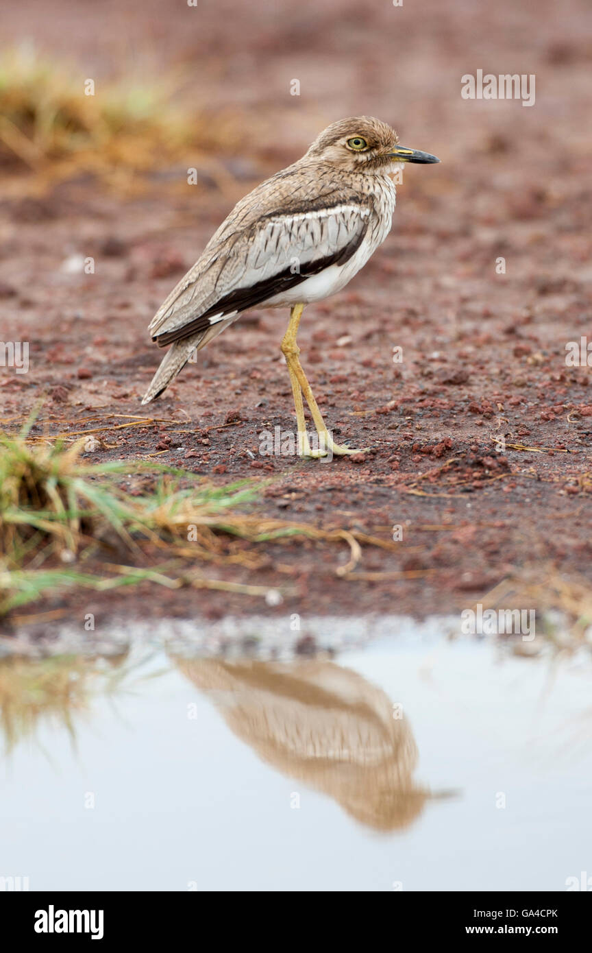 Water thick-knee, Burhinus vermiculatus, Lake Manyara National Park, Tanzania - Stock Image