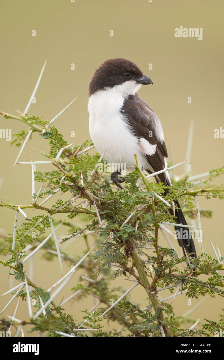 Long-tailed fiscal, Lanius cabanisi, Lake Manyara National Park, Tanzania - Stock Image
