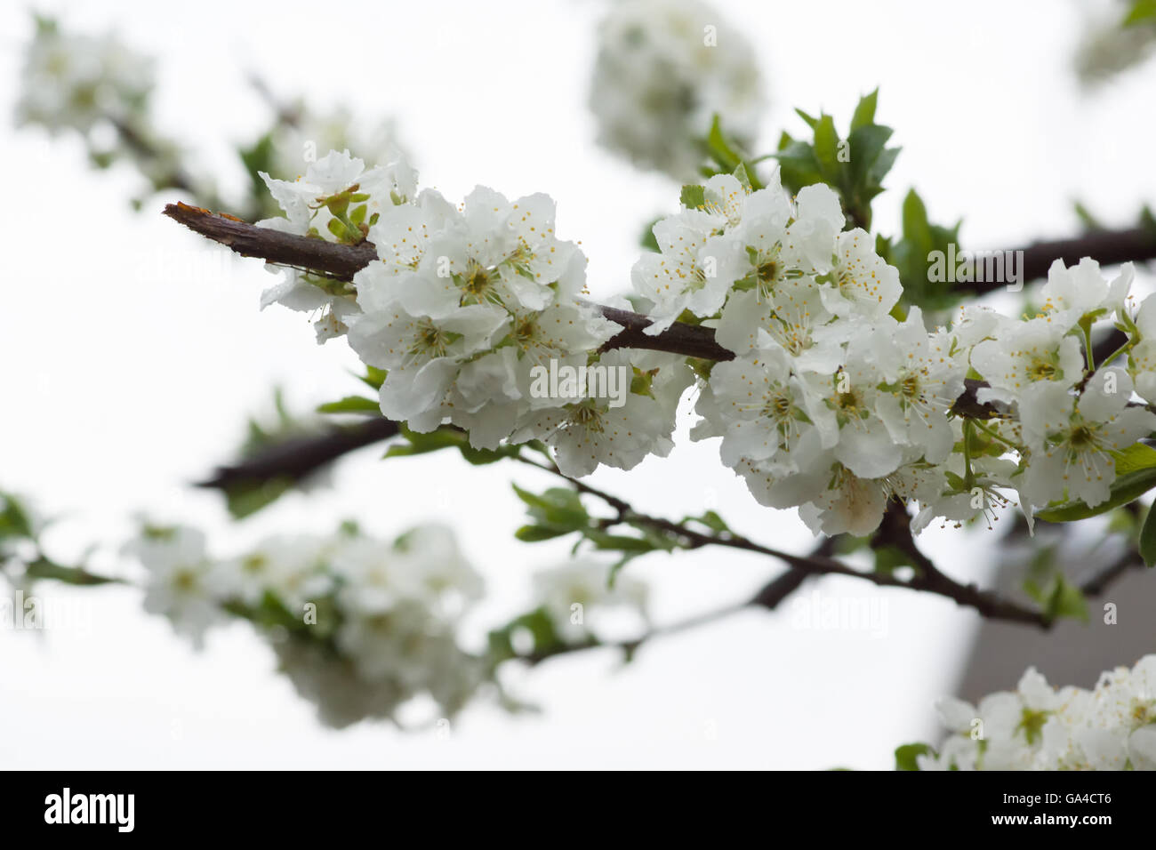 They bloom white flowers on the branches of a pear tree stock photo they bloom white flowers on the branches of a pear tree mightylinksfo