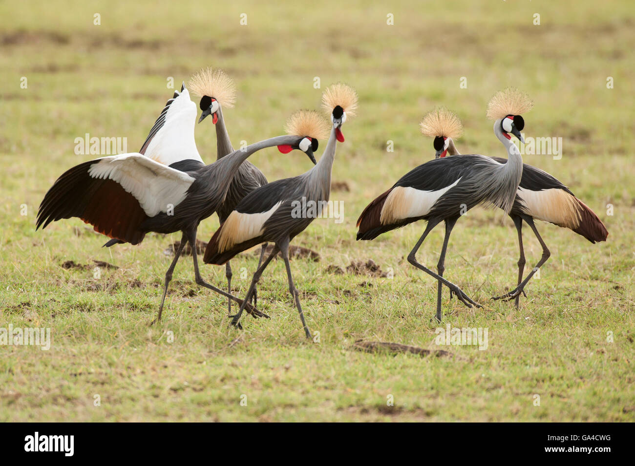 Grey Crowned Cranes (Balearica regulorum), Lake Manyara National Park, Tanzania - Stock Image