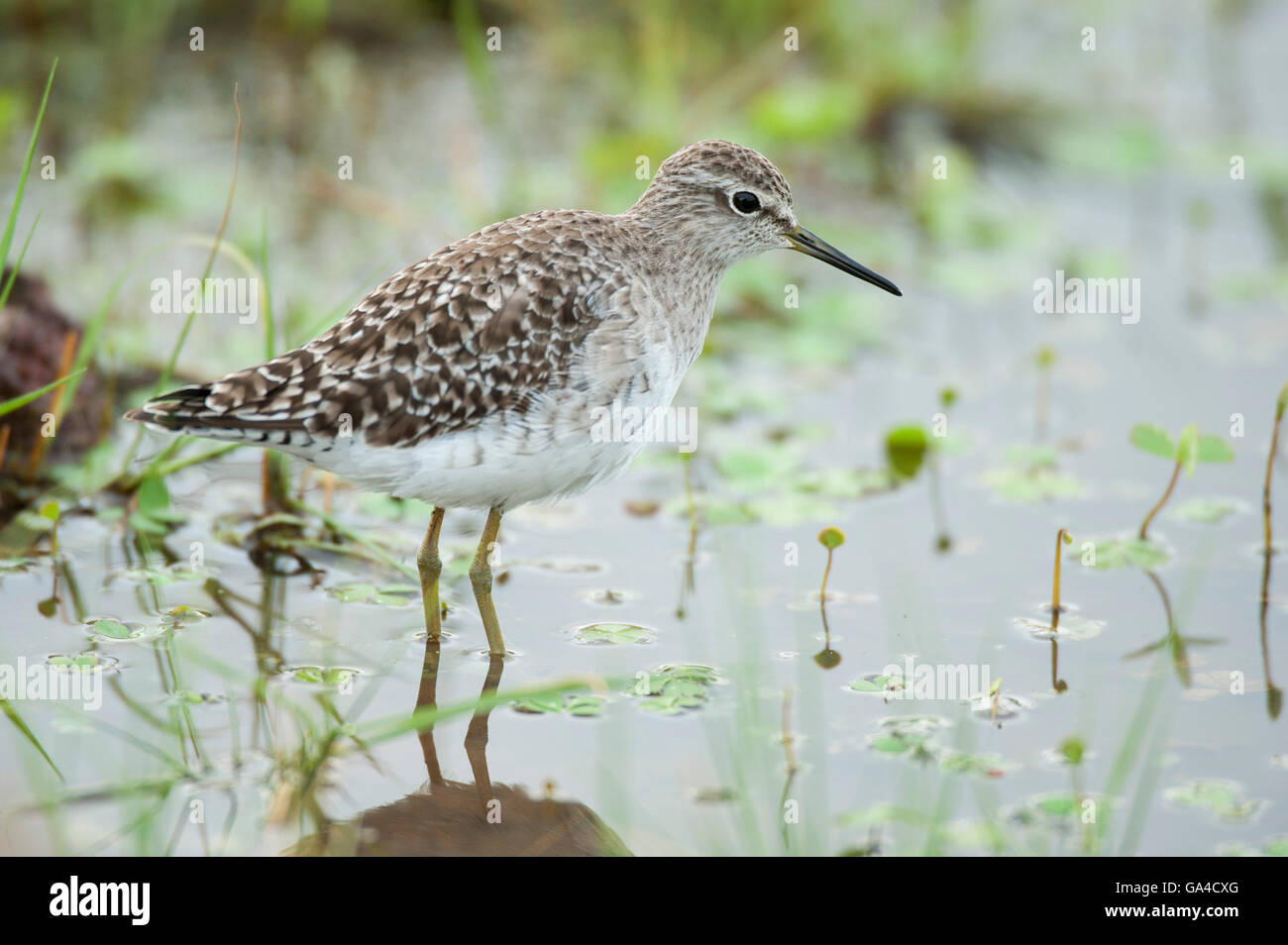 Wood sandpiper, Triga glareola, Lake Manyara National Park, Tanzania - Stock Image