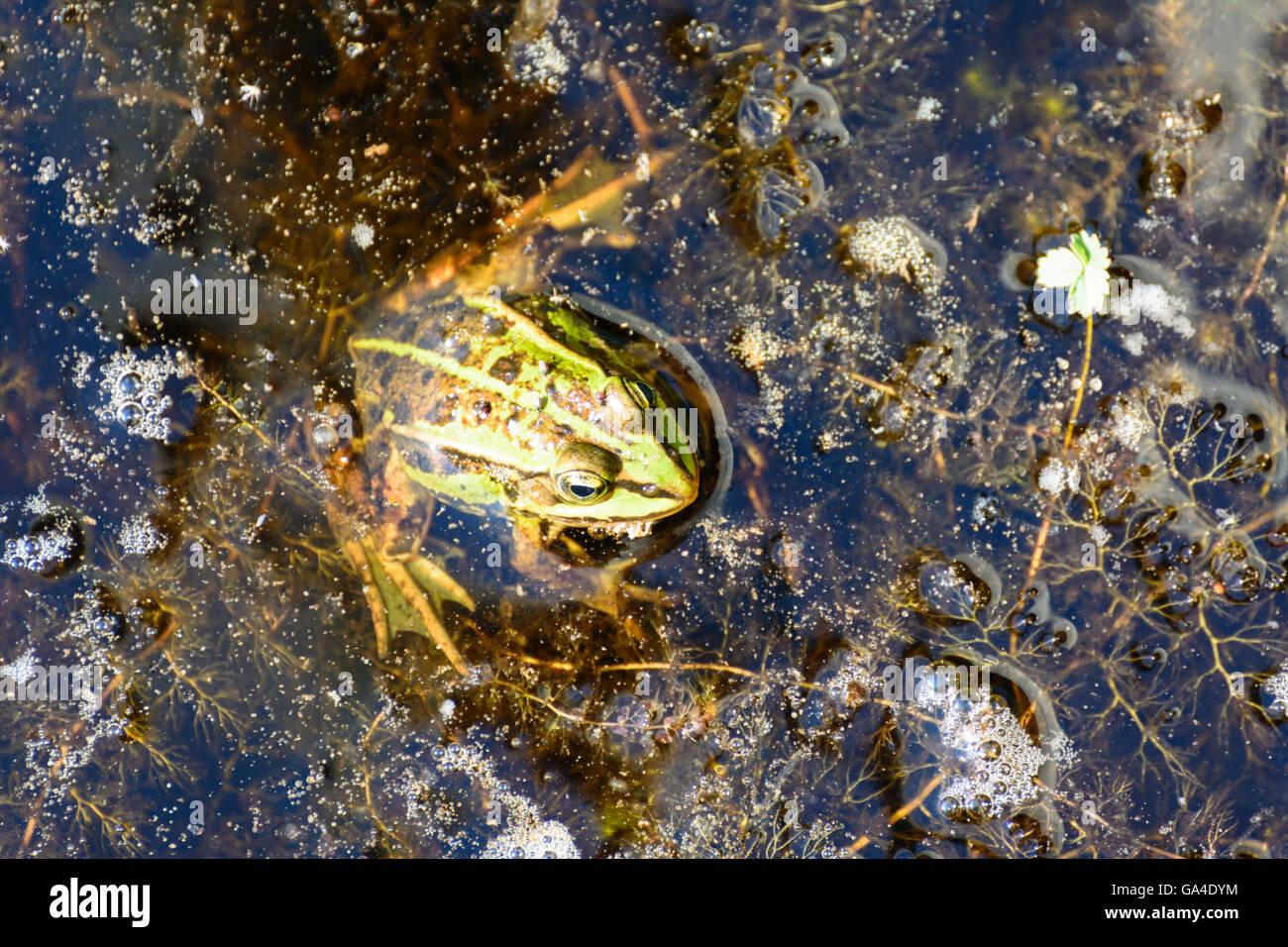 Schrems Pond Frog ( Pelophylax kl . Esculentus Pelophylax ' esculentus ' or Rana ' esculenta ' ) - Stock Image