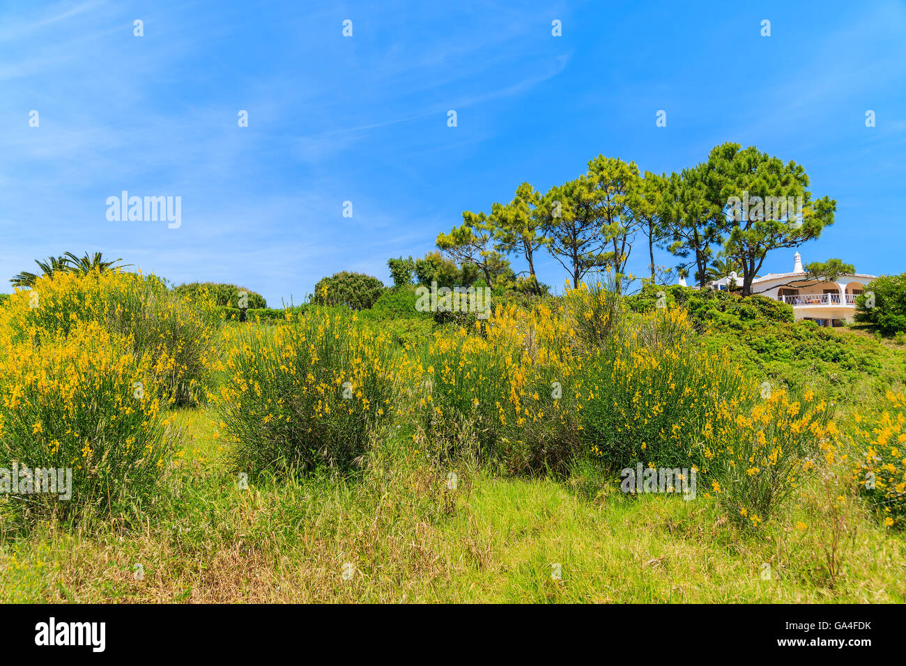 Yellow flowers on green meadow in spring season, Algarve region, Portugal Stock Photo