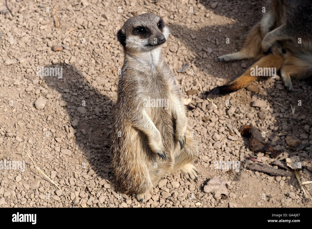 Meerkat on sentry duty - Stock Image