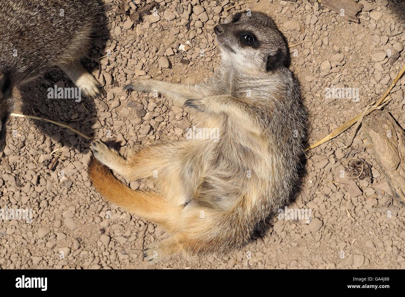 Meerkat lying on ground - Stock Image