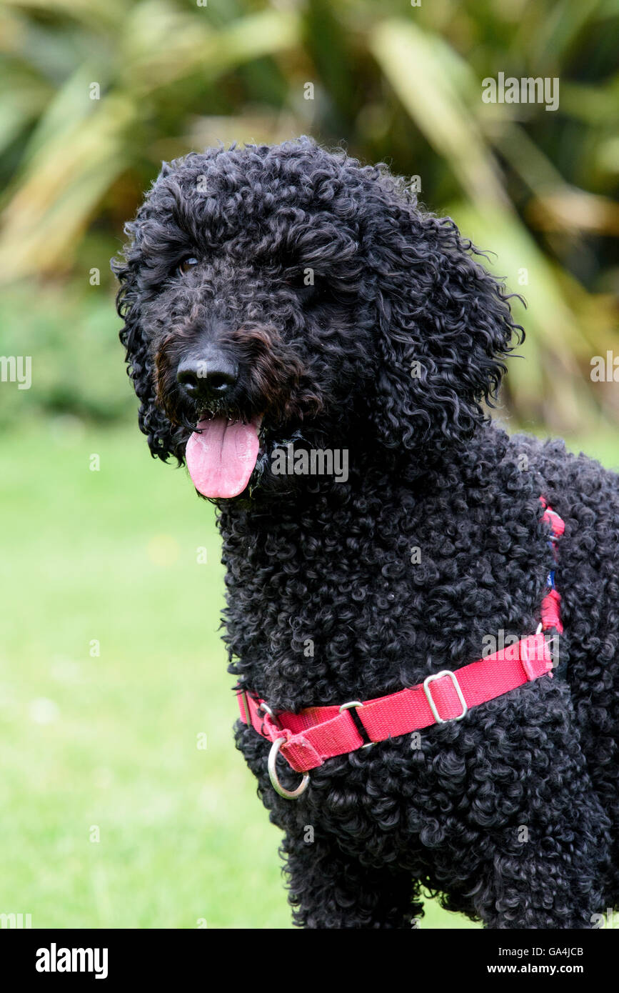Black coloured Labradoodle wearing a red collar, panting - Stock Image