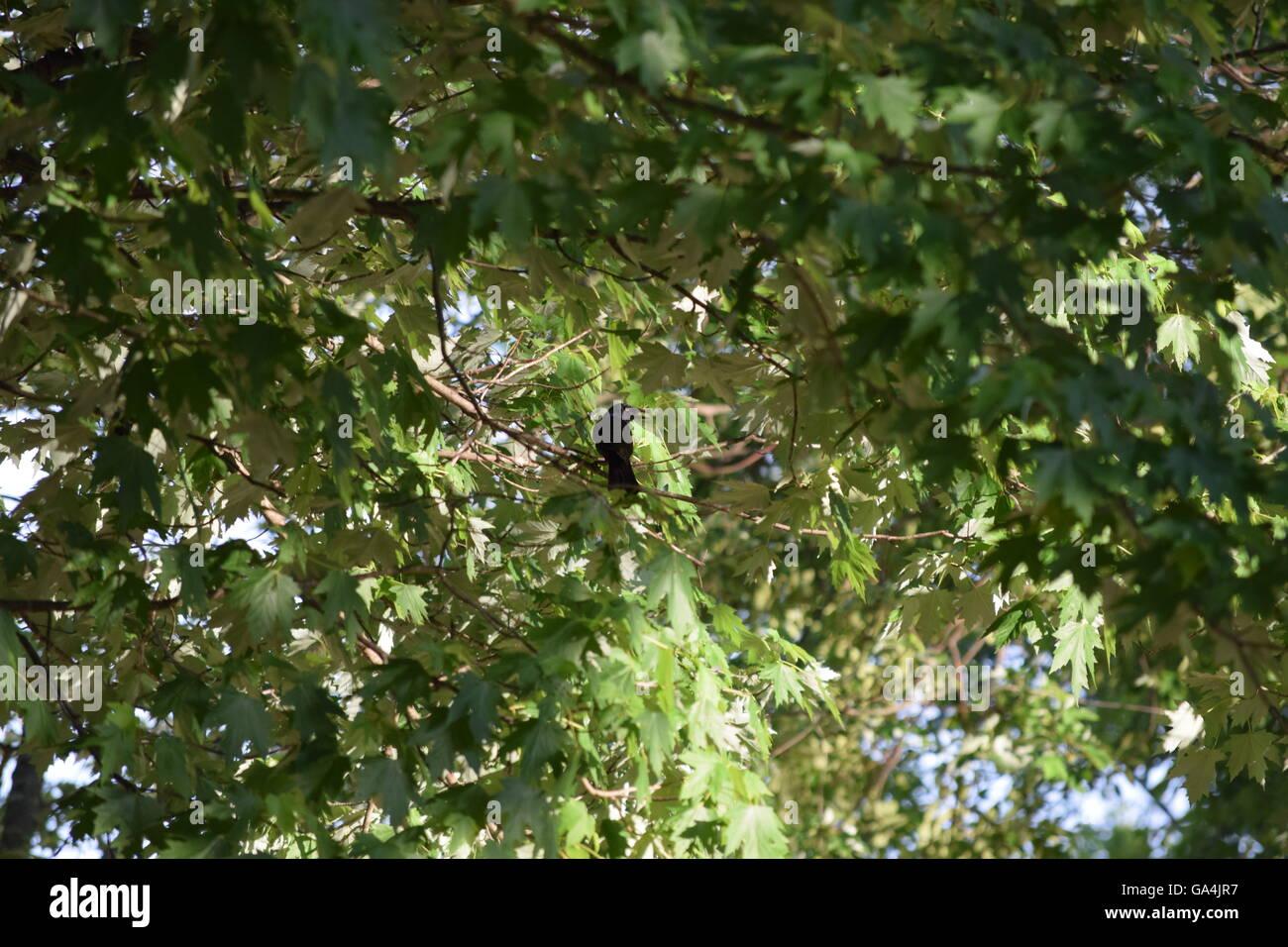Black bird in a tree - Stock Image