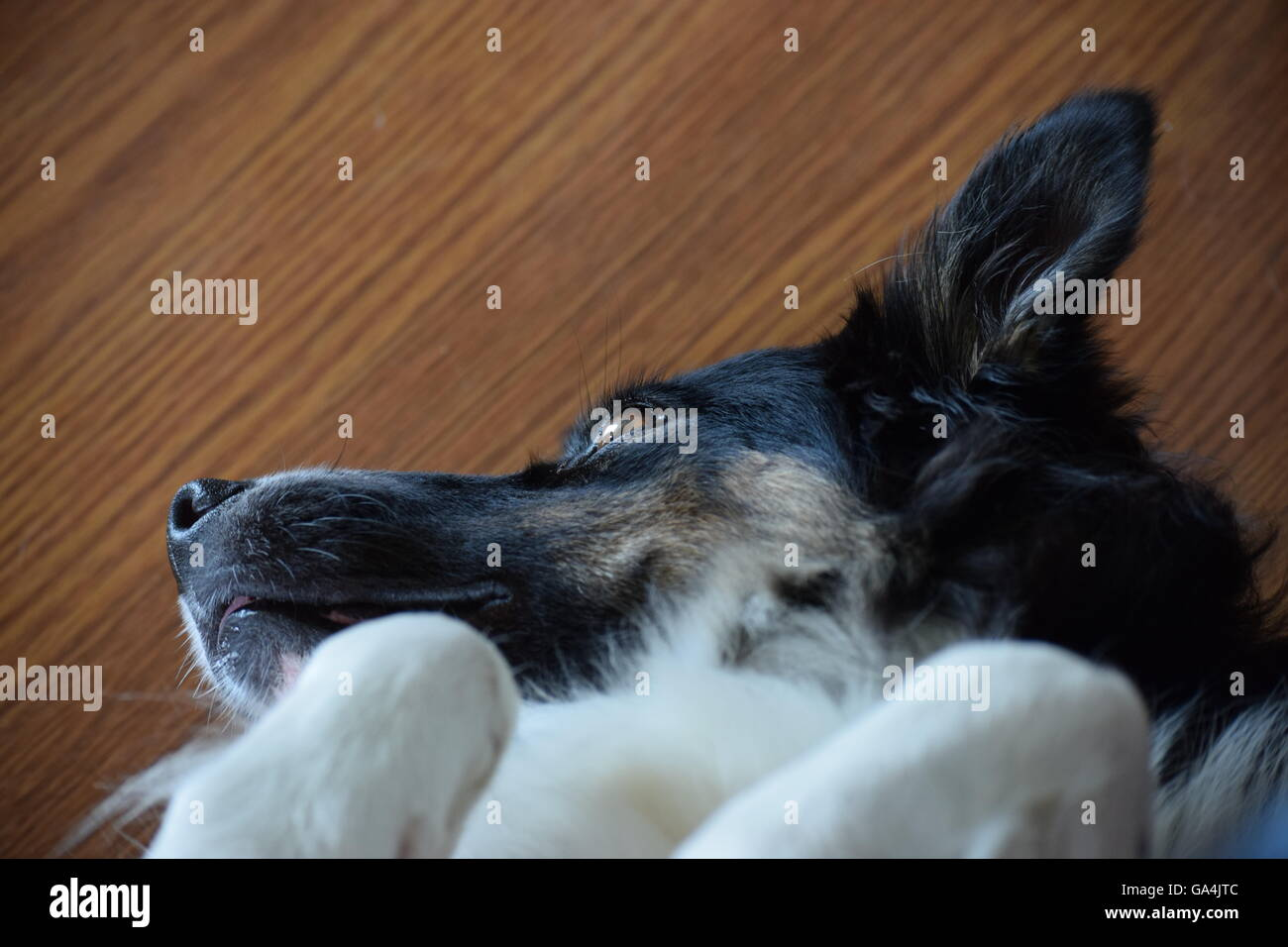 Dog lays on back and looks out a window - Stock Image