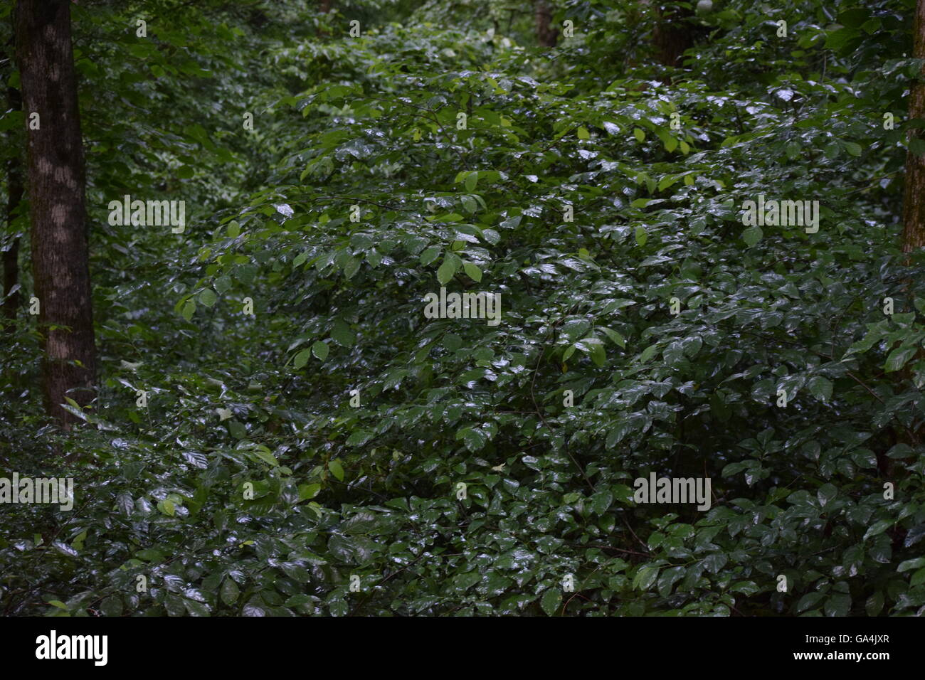 Damp leaves glisten in a forest after rain - Stock Image