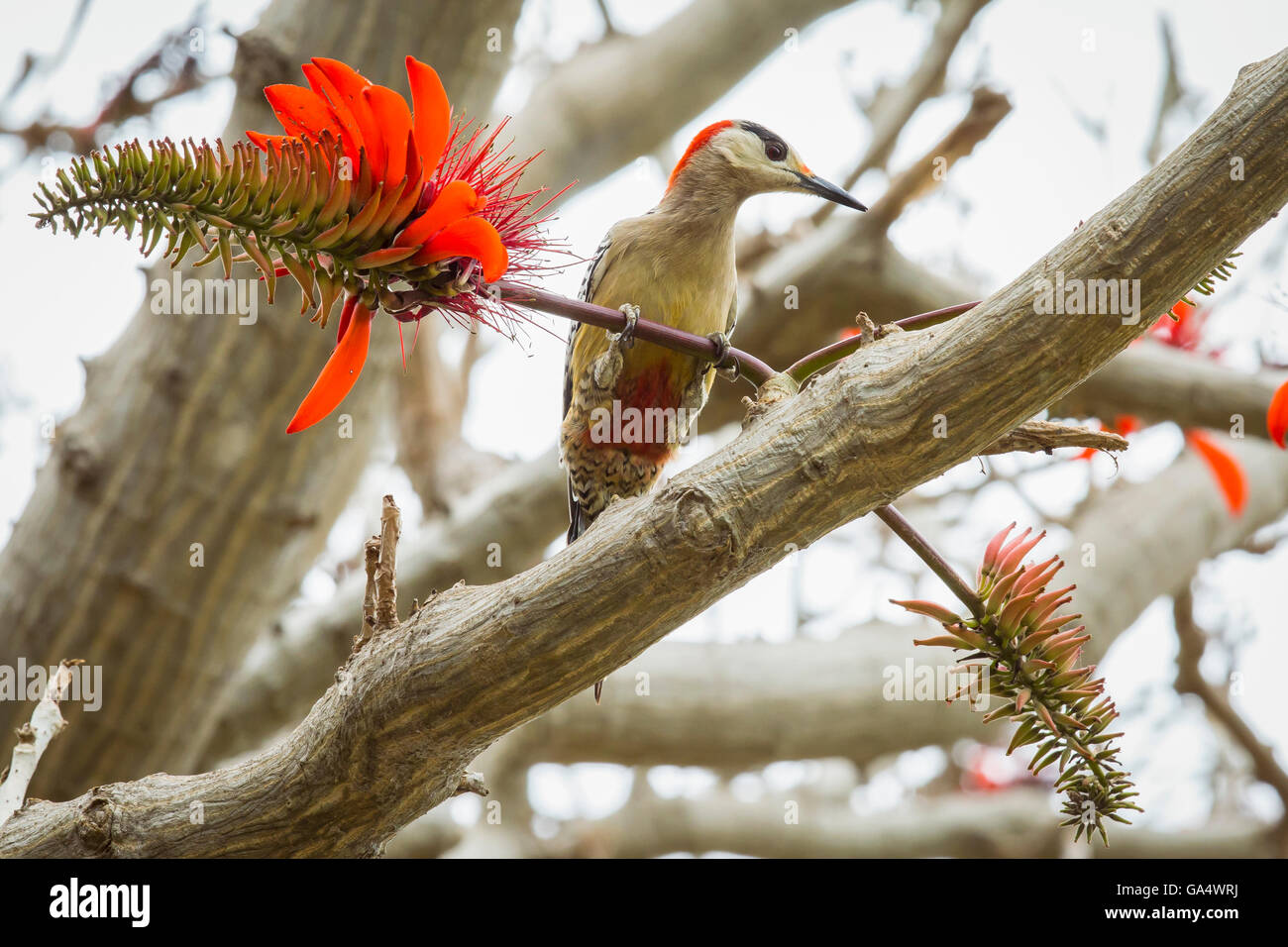 West Indian Woodpecker on a branch of Pinon Florida Erythrina at Hacienda La Belen, a ranch and bird reserve near - Stock Image