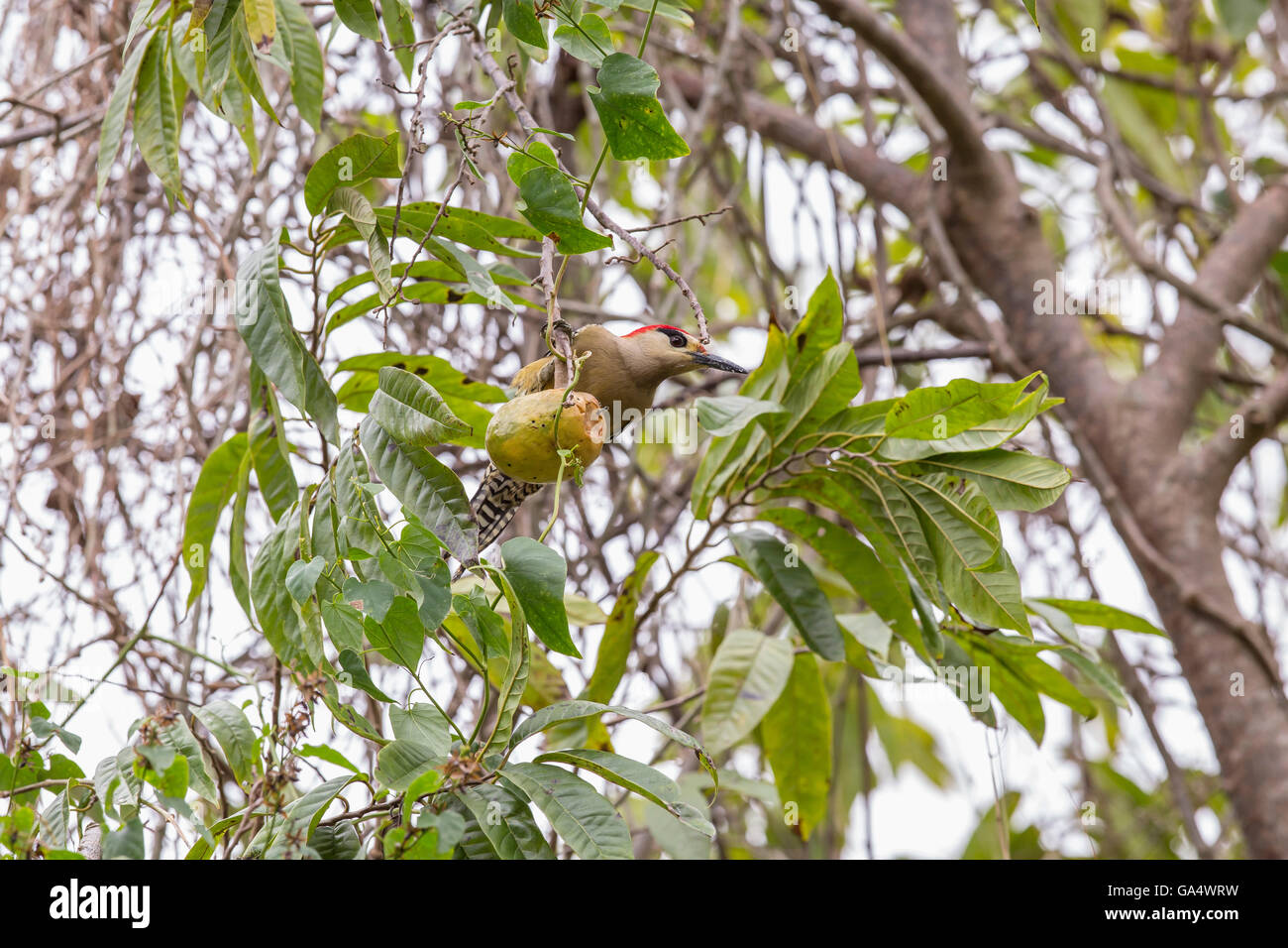 West Indian Woodpecker (Melanerpes superciliaris) in tree near Hacienda La Belen, a ranch and bird reserve near - Stock Image