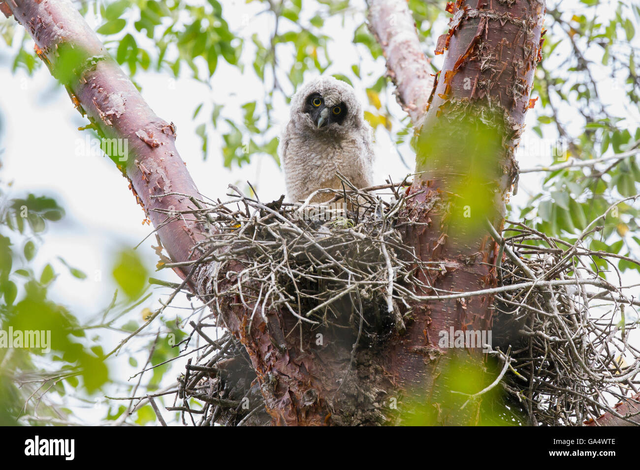 Stygian owlet (Asio stygius) high up in a tree in nest at Zapata Peninsula, Matanzas, Cuba - Stock Image