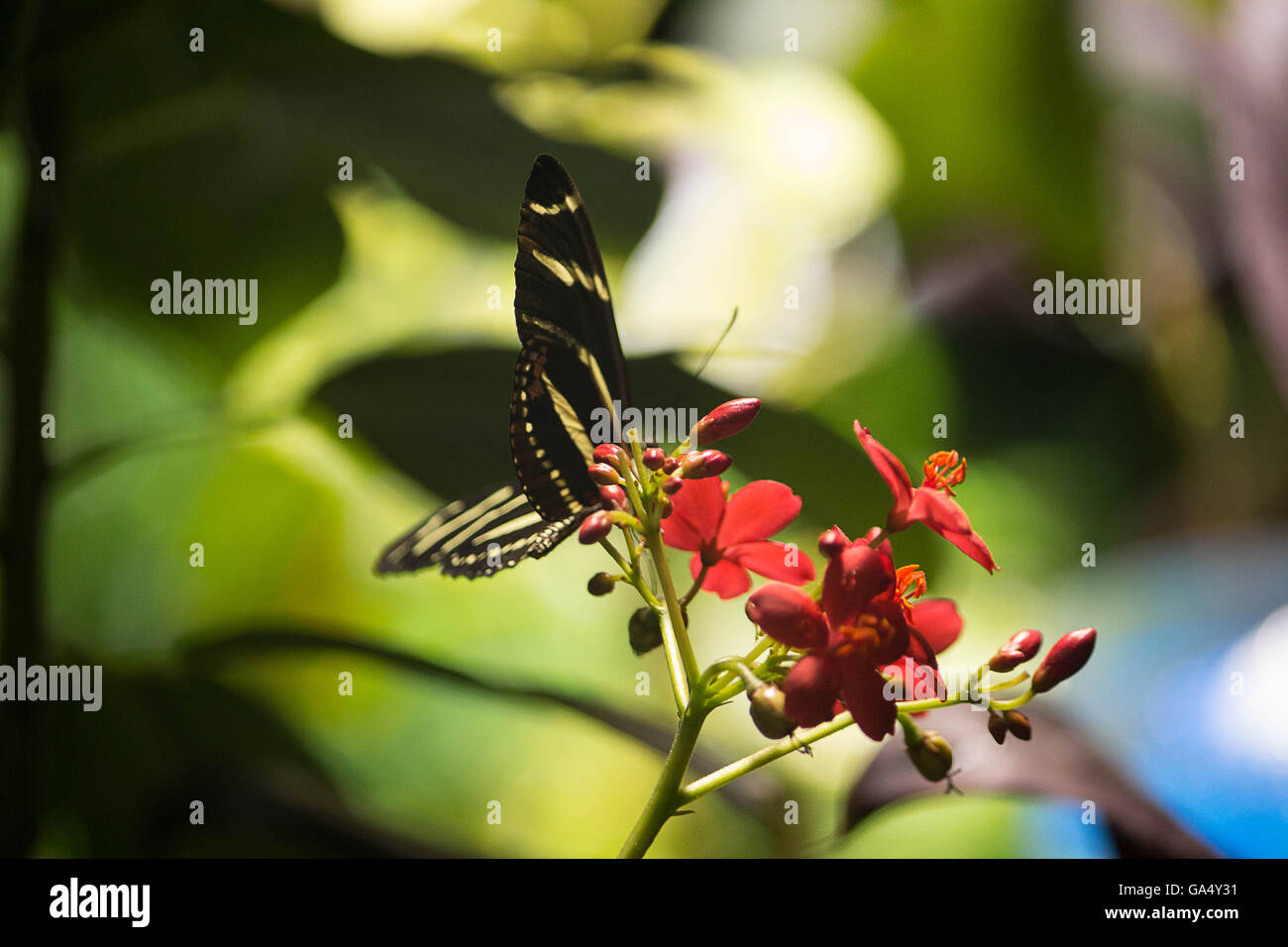 A yellow striped Zebra butterfly sits atop a leaf in a Butterfly exhibit at the Natural History Museum New York - Stock Image