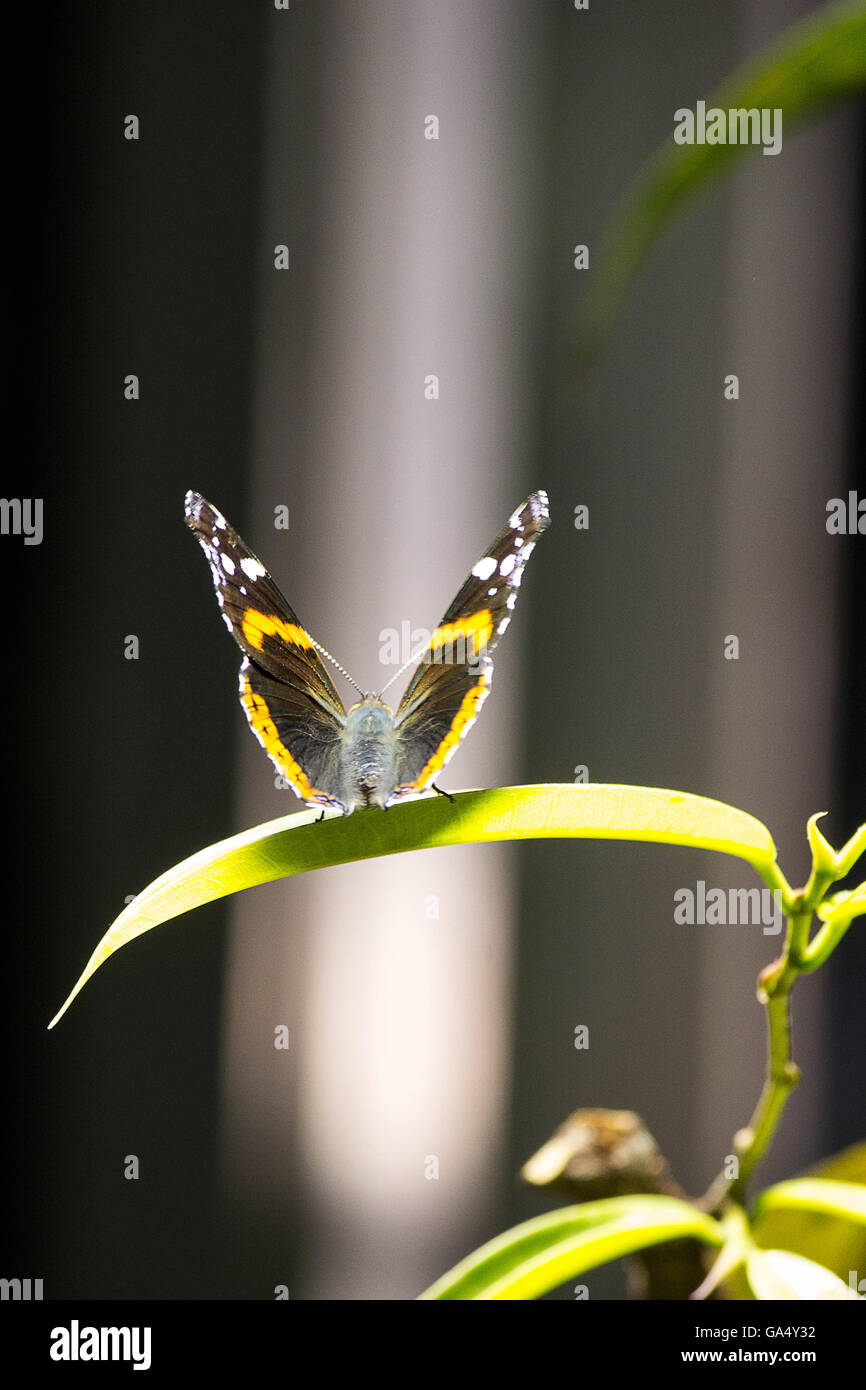A Red Admiral butterfly sits atop a leaf in a Butterfly exhibit at the Natural History Museum New York City - Stock Image