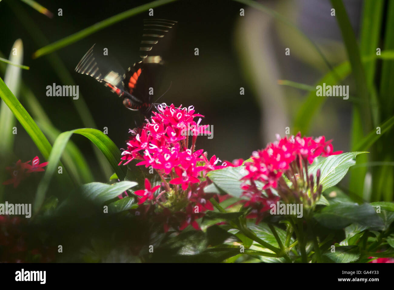 A Red Admiral butterfly captured in flight in a Butterfly exhibit at the Natural History Museum New York City - Stock Image