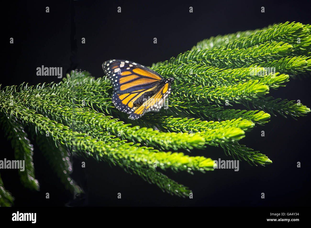 A Monarch butterfly sits on a conifer branch in a Butterfly exhibit at the Natural History Museum New York City - Stock Image