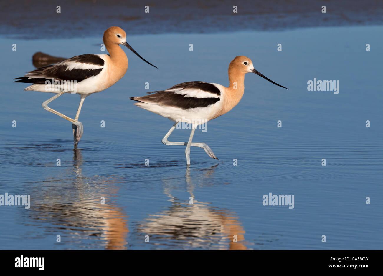 American avocets (Recurvirostra americana) wading in the tidal marsh, Galveston, Texas, USA - Stock Image