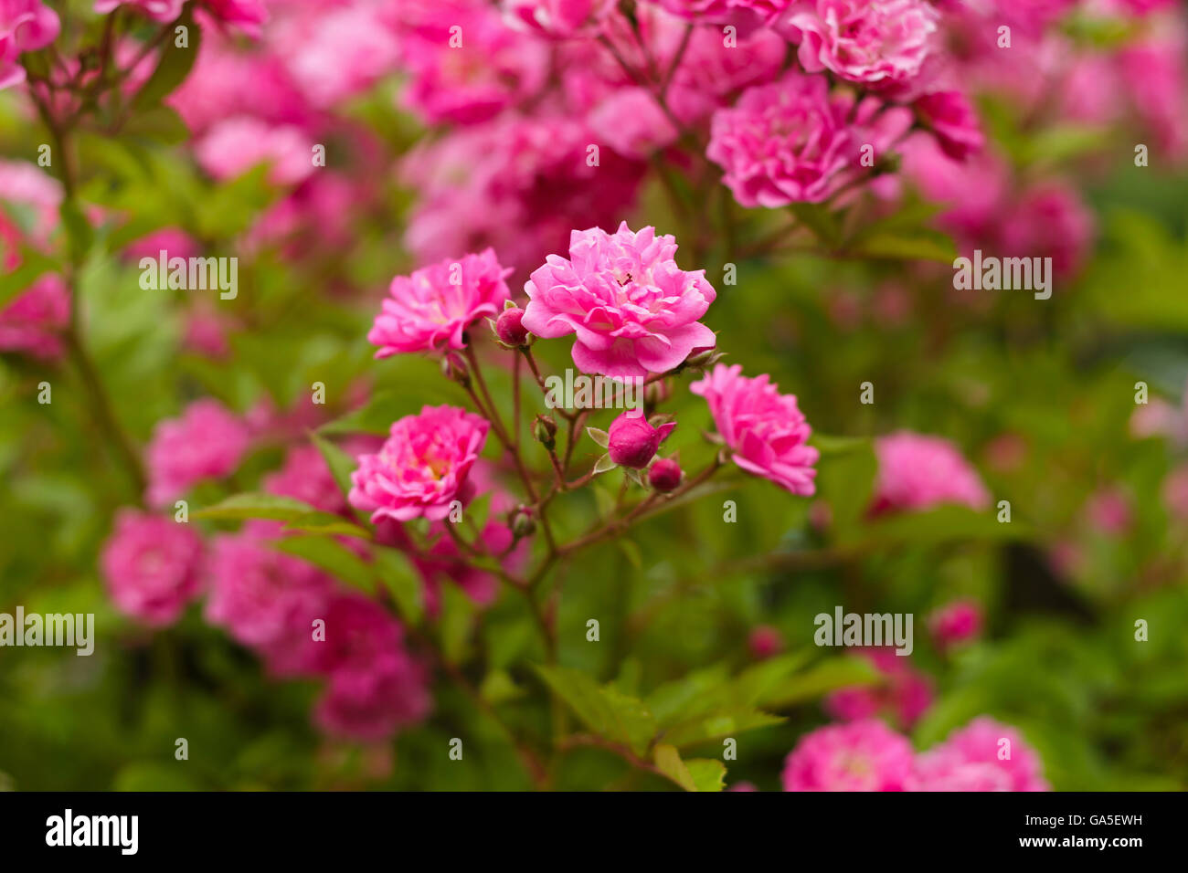 rose view of flowers blurred background - Stock Image