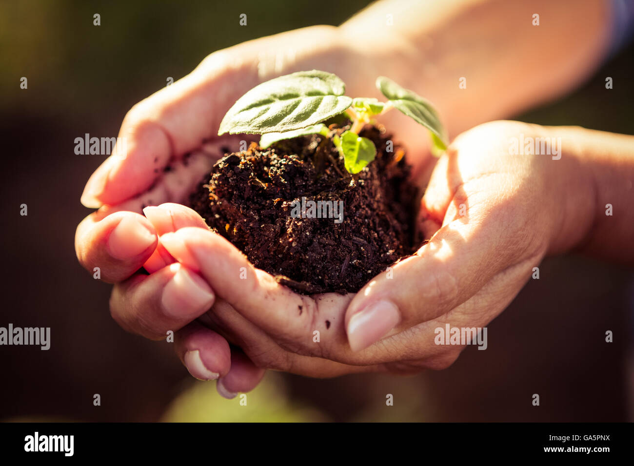Close-up of seedling and dirt in gardeners hands - Stock Image