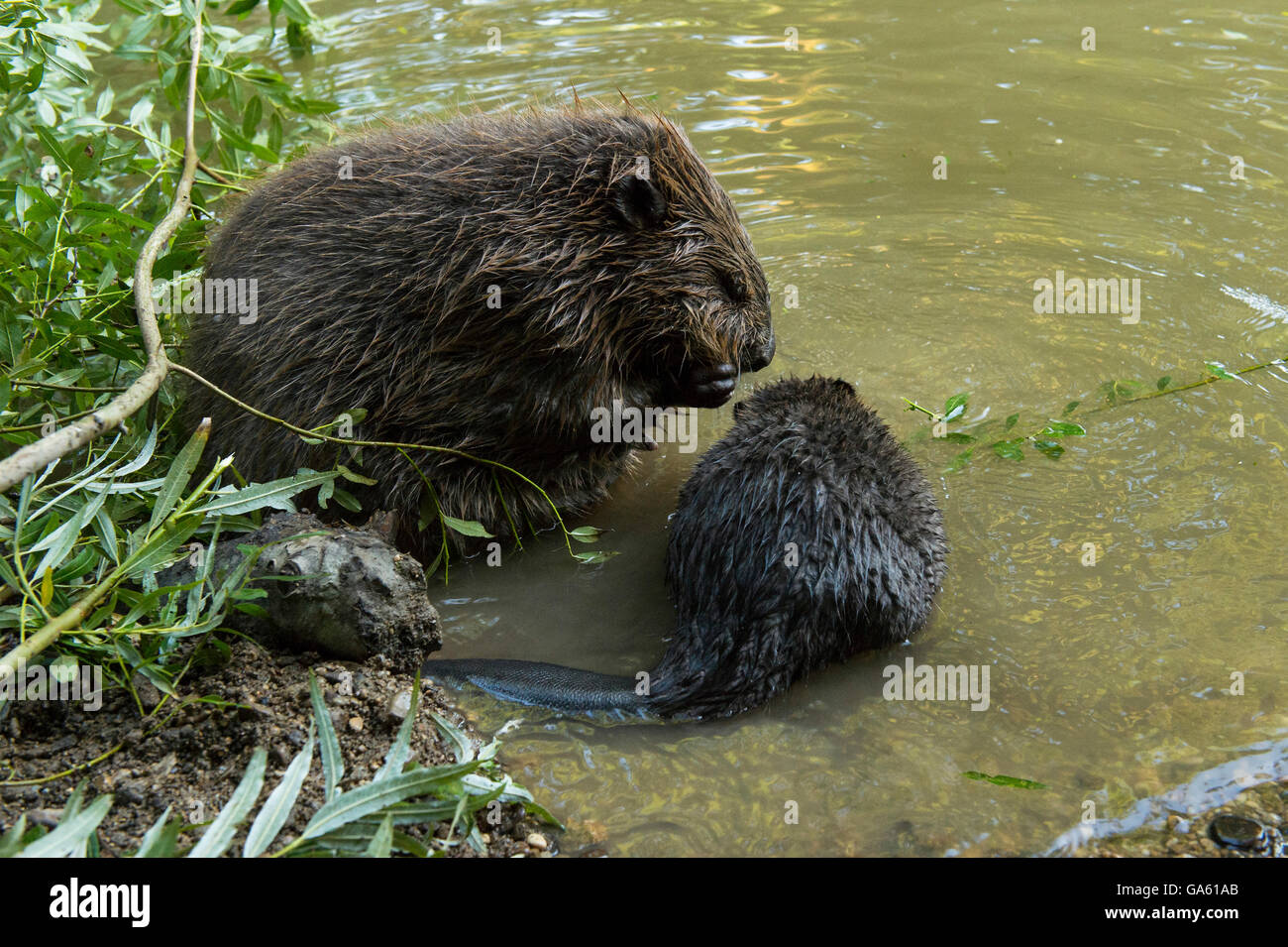 Two Beavers Stock Photos & Two Beavers Stock Images - Page 3 - Alamy