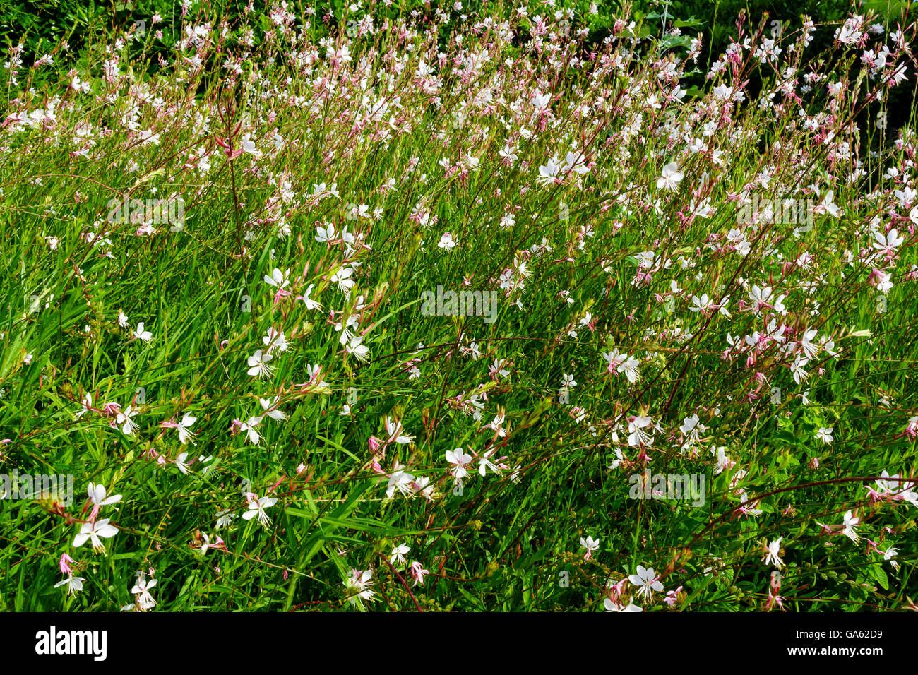 Small pink flowers Gaura lindheimeri 'Sparkle White' in a garden. - Stock Image