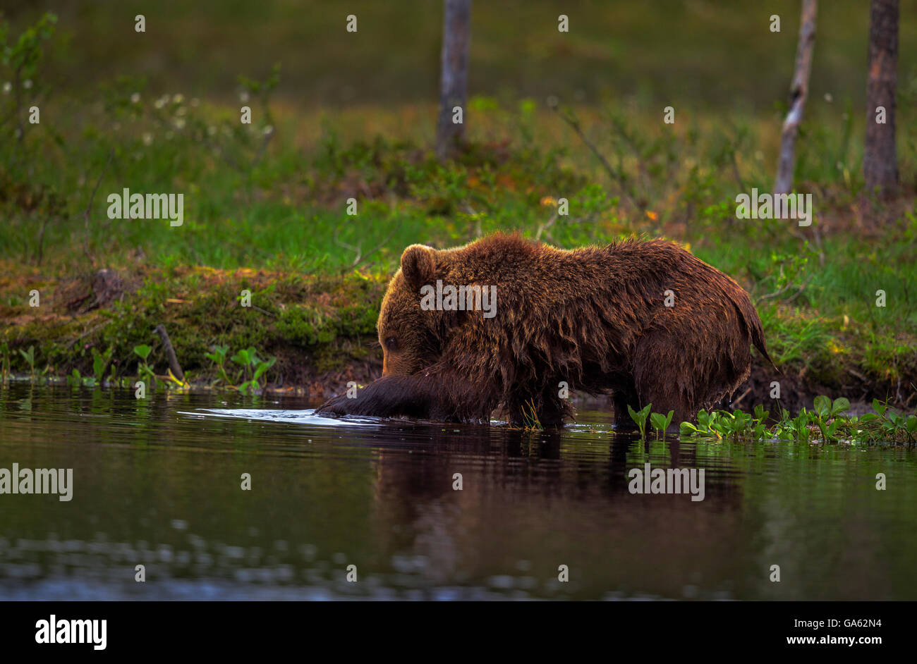 A young brown bear fishing in a lake in northern Finland. - Stock Image