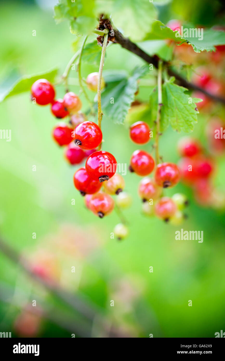 Growing red currant in home garden - Stock Image