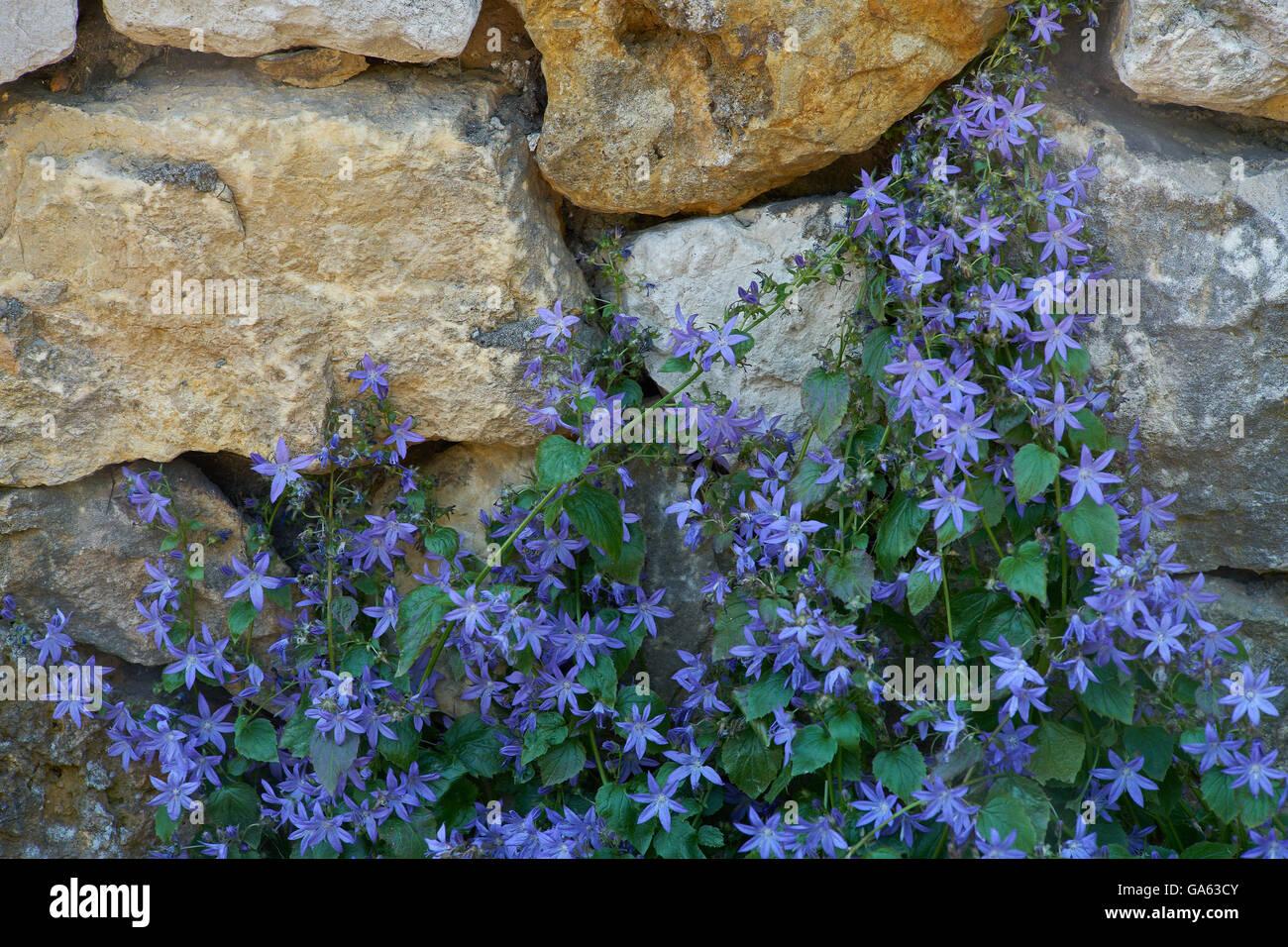 Campanula poscharskyana serbian trailing bellflowers bellflower  blossom - Stock Image