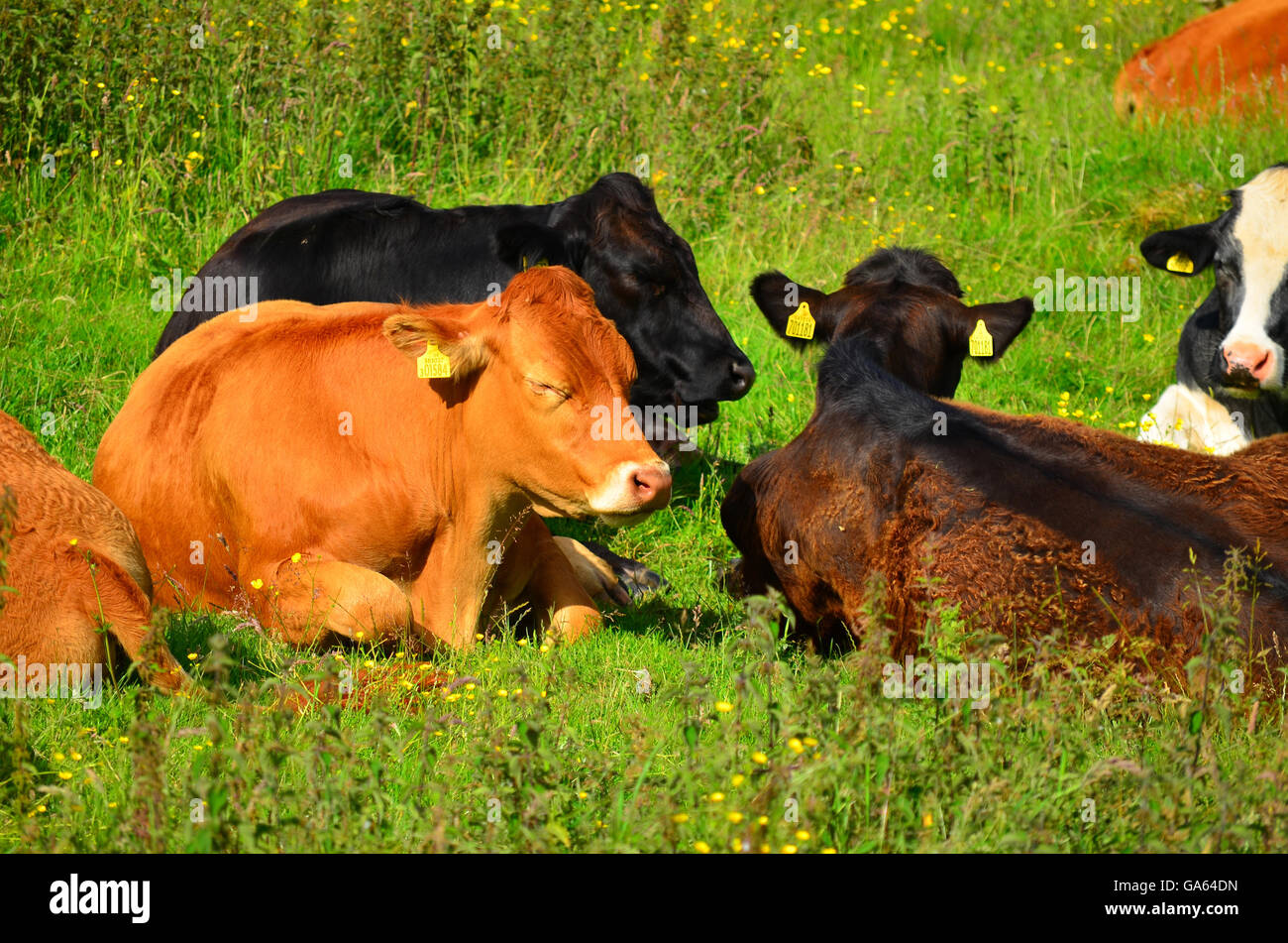 View of cows from near the limestone pavement above Malham Cove, Yorkshire Dales National Park, near Settle, West - Stock Image