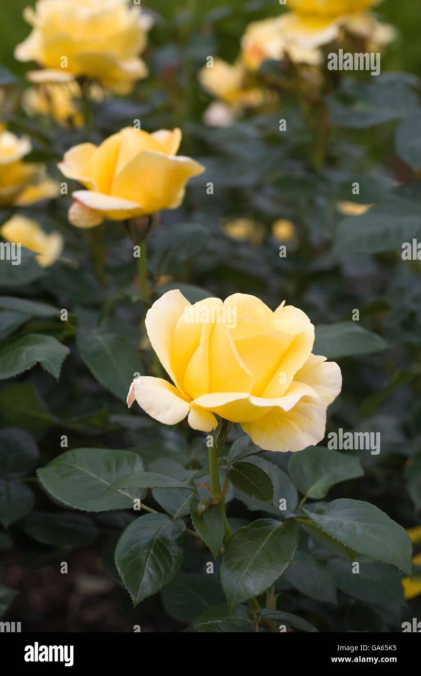 Rosa Glorious 'Interictira'. - Stock Image