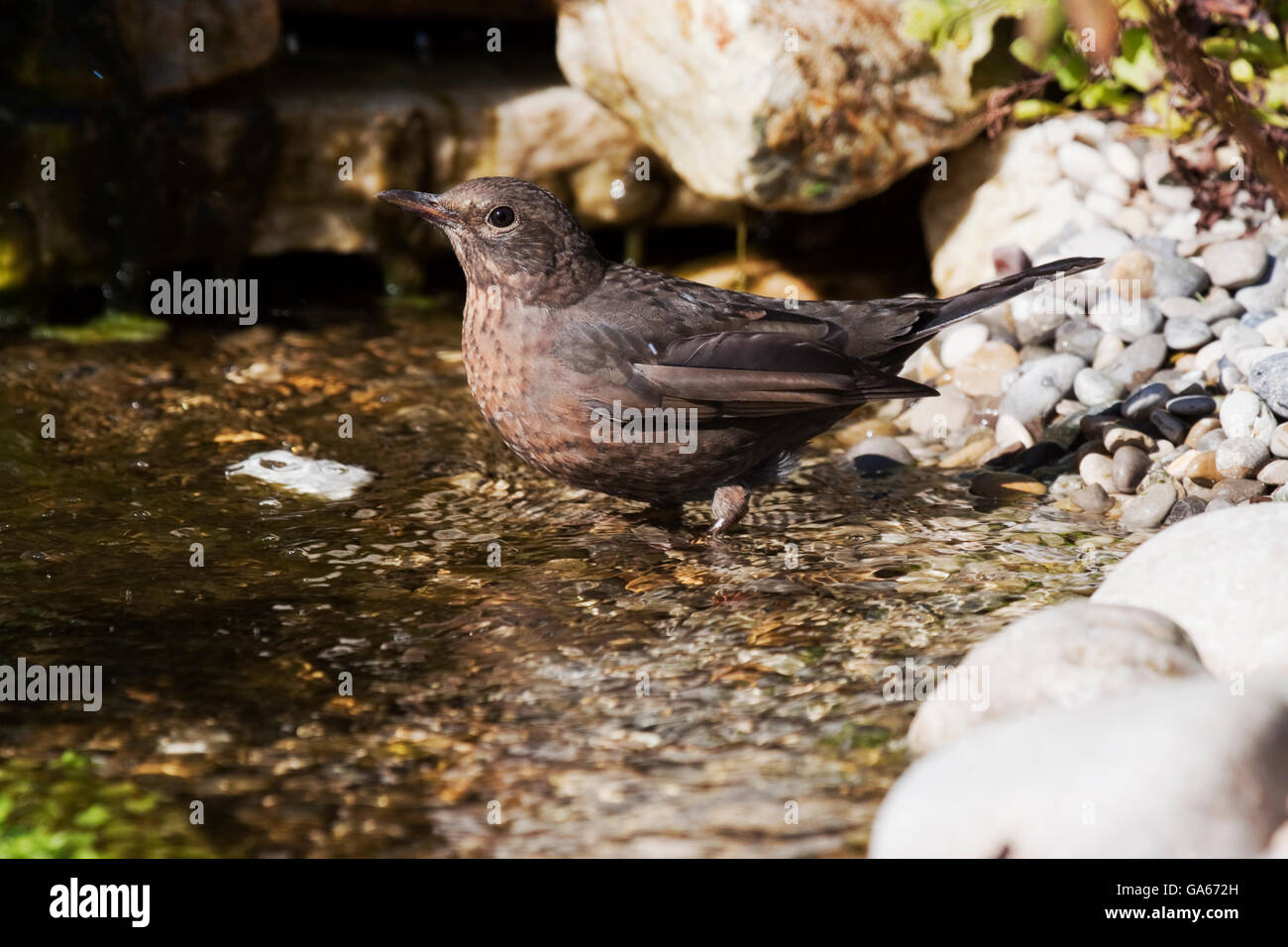 Common blackbird (Turdus merula) female comes to bathing in a small stream - Bavaria/Germany - Stock Image