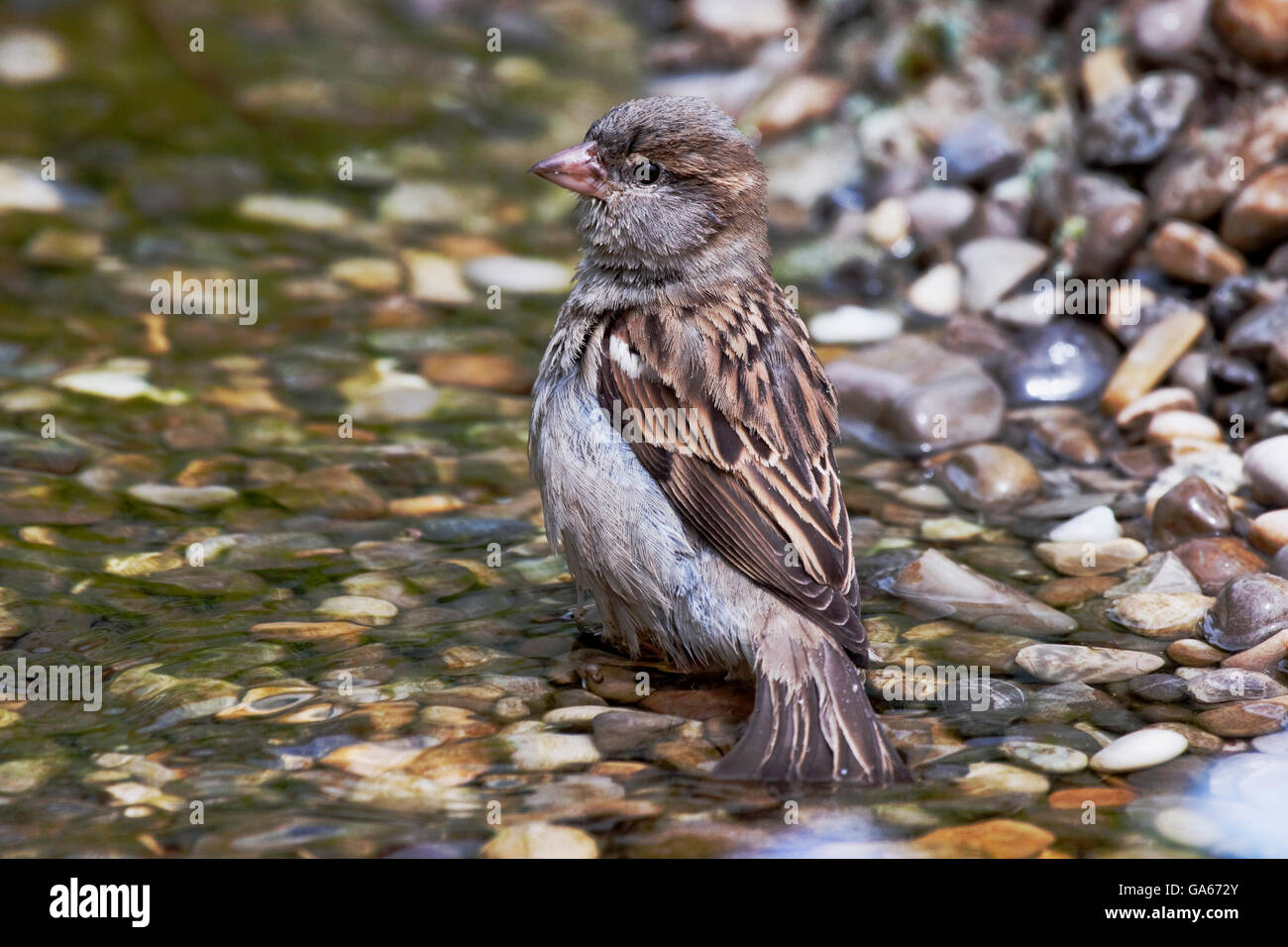 House sparrow (Passer domesticus) female bathing in a brook - Bavaria/Germany - Stock Image