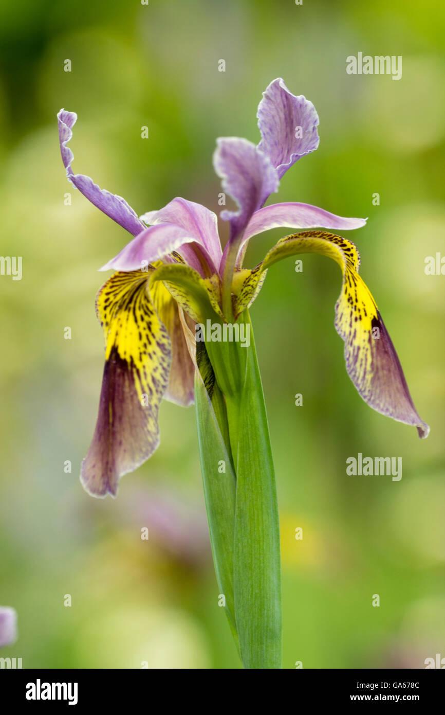 Flower of an open pollinated Iris forrestii hybrid seedling - Stock Image