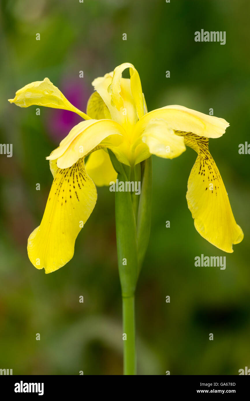 Flower of an open pollinated Iris forrestii hybrid seedling.  This is close to the yellow species. - Stock Image